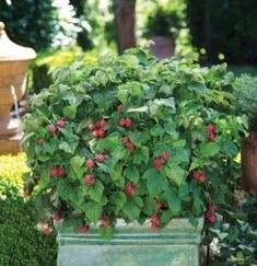 """'Raspberry Shortcake"""" from BrazelBerries - A new thornless, dwarf raspberry will be in garden centers in 2013. Imagine this amazing plant and a raspberry harvest right on your patio!"""