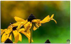 Black-Eyed-Susan flower or Rudbeckia Hirta flower on smooth bokeh background