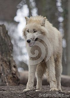 Wolf Stock Photos, Images, & Pictures – (20,026 Images) - Page 19