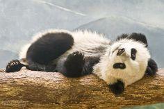 Giant Panda Cub Po Reclining at the Zoo Atlanta