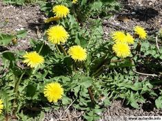All the parts of the plant can be used to create a slurry.The liquid manure of dandelion is good for tomatoes because it is rich in potash that ensures a good flowering and by fruiting Fertilizer For Plants, Permaculture Design, Potager Garden, Dandelion Flower, Plantation, Raised Garden Beds, Horticulture, Botany, Vegetable Garden