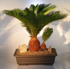 Sago Palm Bonsai Tree - With Baby (cycas revoluta)