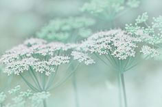 Dainty White Flowers Teal Photograph