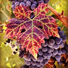 Autumn in Agrelo So glad the Lord thought of grapes. Photo Fruit, Grape Vineyard, Fruit Painting, Grape Painting, Wine Vineyards, Fruits Images, Vides, Food Backgrounds, Fruit Art