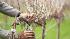 Pruning of Grape Vines in spring! How to prune your Grapes, another important part of growing grapes! Grape Vine Pruning, Bordeaux, Agriculture Photos, Grape Vineyard, Grape Plant, Growing Grapes, California Wine, Gifts For Photographers, Fruit Trees