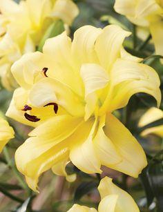Double Oriental Lilies Exotic Sun - Tesselaar