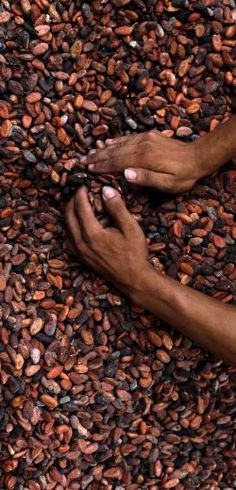 Cocoa Beans from the Republic of Côte d'Ivoire