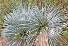Perhaps the most handsome yucca, Yucca rostrata (Beaked Yucca) is a very ornamental, slow-growing, evergreen tree-like yucca forming a perfectly symmetrical pom-pom, full of hundreds of 2 ft. long (60 cm), sharp-tipped, pale bluish-green leaves. This shimmering rosette is mounted atop a tree trunk, which is covered with the soft gray fibers of the old leaves, creating a silver haze. This Yucca is topped in late spring with yellow-orange flowering stalks that rise above the foliage on mature…