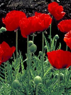 Papaver Brilliant--Poppy--not too crazy about the foliage but the flowers are exquisite--the petals are so fragile-looking!