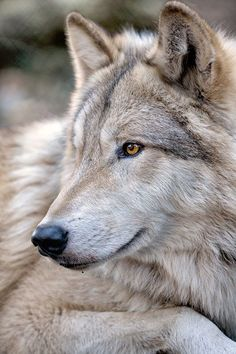 Yesterday kicked off National Wolf Awareness week. Be informed, get involved and help conserve and protect wolves and their habitat. This is Lakota, a male gray wolf that was rescued from a local breeder in October of Source:wolfhavenintl 19 notes Wolf Images, Wolf Photos, Wolf Pictures, Beautiful Wolves, Animals Beautiful, Tier Wolf, Animals And Pets, Cute Animals, Wolf Hybrid