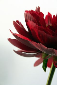 the endless angles from which you love a red peony | voluptuous flower