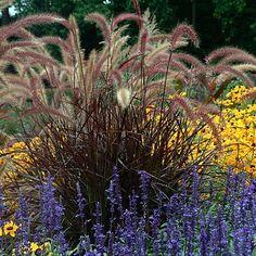 Purple Fountain Grass - Pennisetum rubrum - Quart Pot Hir... http://www.amazon.com/dp/B007VGDBE8/ref=cm_sw_r_pi_dp_EYwvxb0AKRAB7