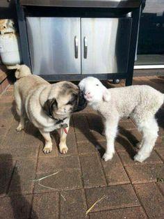 I love u puggy and I love u lamby