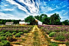 Breathtaking! This photo, taken by Piera Lotito, is of a gorgeous lavender field in Mechanicsville.