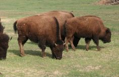 Bison Calves For Sale, Fairview AB, Canada - Bison classified ad | Livestock.com