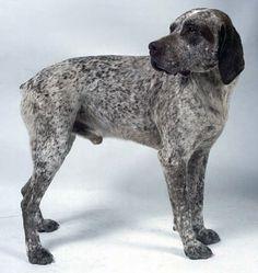 Бурбонский бракк (Бурбонский пойнтер) Curly Coated Retriever, All Dogs, I Love Dogs, Braque Du Bourbonnais, Terrier, Types Of Dogs, Dog Names, Pointers, Mammals