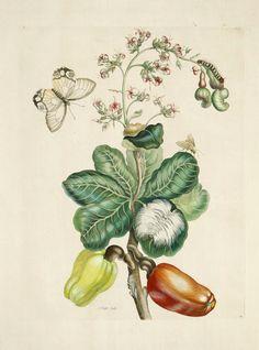Cashew from Metamorphasibus Insectorum Surinamensium by Maria Sibylla Merian. Absolutely lovely Antique botanical art!