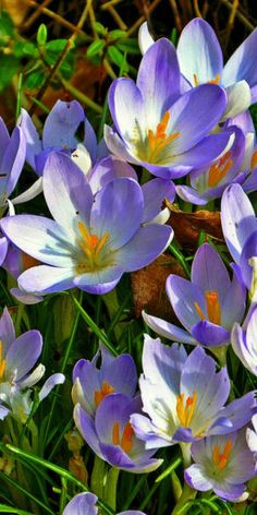 Crocus at Arboretum Park in Nottingham, England • photo: DncnH on Flickr