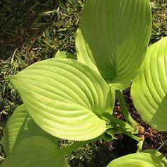 HOSTA 'Sum and Substance' : Vaste genre offrant une grande diversité de feuillages particulièrement décoratifs. Une fois installés, ce sont de parfaits couvre-sols, peu exigeants et d'une grande longévité. Leurs fleurs en trompettes pendantes apportent un heureux complément de couleur. Le feuillage peut être utilisé dans les bouquets. Massif, bordure. Grandes feuilles arrondies, épaisses, dorées à mi-ombre et vert chartreuse à l'ombre. Supporte les emplacements ensoleillés. Fleurs blanches.
