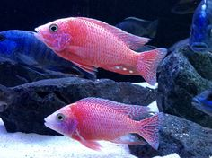 Dragonblood Strawberry Peackock African Cichlid