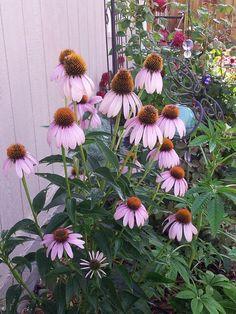 pretty in purple cone head flower
