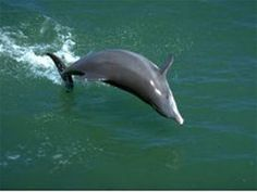 Dolphins are an almost guaranteed sighting on Captiva