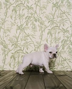 Yes. Little creamy and white Frenchies have a place on our Farm.