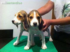 MIL ANUNCIOS.COM - Compra-venta de beagles . Anuncios con fotos de beagles . Perros beagle