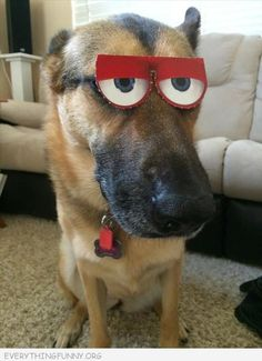 funny dog picture with funny glasses on