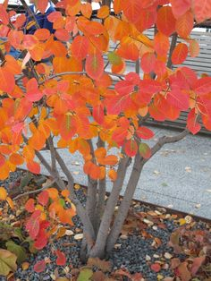 Trees for wall gardens: Amelanchier - An ideal big shrub/small tree for the small garden. Blossom in the spring, blazing autumn colour and attractive multi-stemmed branch structure.