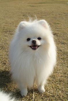 Marvelous Pomeranian Does Your Dog Measure Up and Does It Matter Characteristics. All About Pomeranian Does Your Dog Measure Up and Does It Matter Characteristics. Sweet Dogs, Cute Baby Dogs, Cute Dogs And Puppies, Cute Baby Animals, I Love Dogs, Animals And Pets, Lab Puppies, Doggies, Spitz Pomeranian