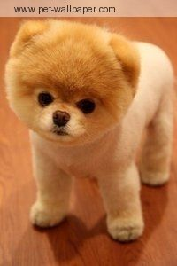 We are taking care of this little peanut for a couple of days... so tempted to give it this haircut!!!