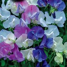 """Scent Infusion"" is a mix of named varieties, all powerfully scented."