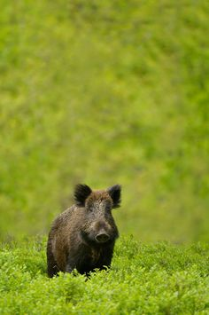 Wild boar by Edwin Kats What Animal Are You, Animals Beautiful, Cute Animals, Boar Hunting, Wild Boar, Lovely Creatures, Fauna, Pet Birds, Animal Kingdom