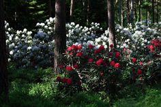 Viisi vinkkiä alppiruusun kasvattamiseen - MindyJBlog Plants, Gardening, Lawn And Garden, Plant, Planets, Horticulture