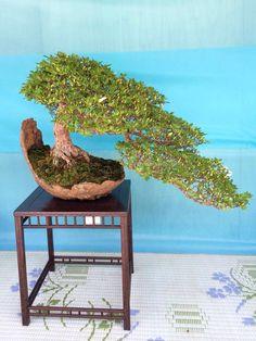 Galery Bonsai Klasik I Bonsai Art, Bonsai Plants, Bonsai Garden, Bonsai Trees, Bougainvillea Bonsai, Ikebana, Unique Trees, Small Trees, Dwarf Trees