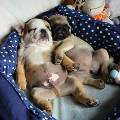 this is two bulldogs and they are sleeping the bed with one other and I wish I had a bulldog too but they are too aggervise but they are good dogs and my boy friend wants a dog cause he is a dog person too but I love dogs too.