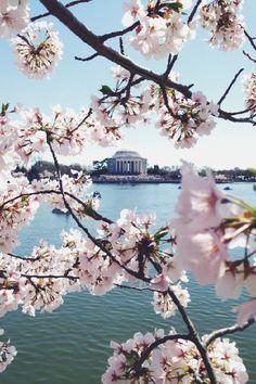 Daily Inspiration #1838 DC cherry blossom festival