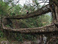 Living Root bridges of Cherrapunji, India  i will do this in my world travels (: