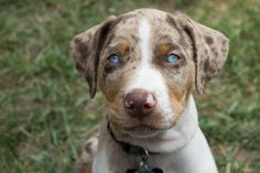 Jango - Catahoula Leopard Dog | VSPETS - Pet Photo Contest
