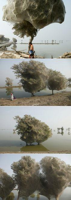 Spider Web Trees in Pakistan - gross!