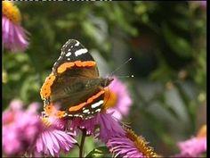 In het najaar wordt het kouder. Sommige vogels trekken naar het zuiden om te overwinteren. Maar wist je dat er ook vlinders weggaan, op zoek naar warmere streken?
