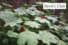 Back Bay Botanicals Devil's Club Soothing Balm. Good for alleviating arthritis pain. I'm usually skeptical of things like this, but this actually works for me. Back Pain Remedies, Bath And Body, Natural Remedies, Devil, Health And Wellness, The Balm, Berries, Club, Nature