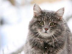 Norwegian Snow Cat