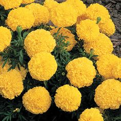 African Marigold mosquito repelling