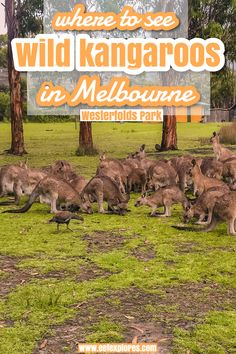 Kangaroos can be found all over Australia, but did you know you can actually spot wild kangaroos in Melbourne? In Westerfolds Park. This article tells you how to get there, when to go & more. Have fun! Visit Sydney, Visit Melbourne, Australia Honeymoon, Australia Travel, Wilsons Promontory, The Whitsundays, Melbourne Travel, Harbor Bridge, Visit Victoria