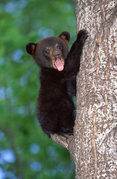 the-cute-creatures:  Cute Baby Black Bear. (by AlaskaFreezeFrame) Click here for more cute creatures!