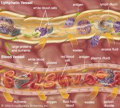 extracellular fluid: lymphatic vessel and blood vessel [Credit: Encyclopædia Britannica, Inc. Nursing Tips, Nursing Notes, Extracellular Fluid, Endocrine System, Lymphatic System, Blood Plasma, Medicine Student, Body Fluid, Medical Anatomy