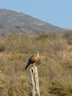 Loica de pecho rojo en valle del Quilimarí, Chile