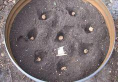 4-pasos-sencillos-para-cultivar-45-kg-de-patatas-en-un-barril-2